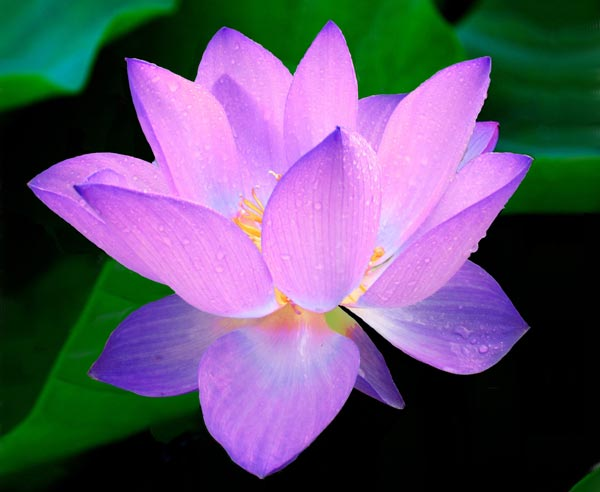 What is the meaning of Lotus Flower in Buddhism?
